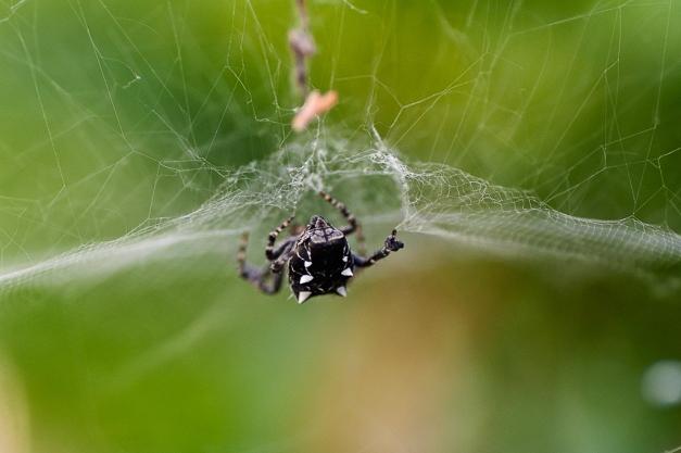 Araña de los cítricos
