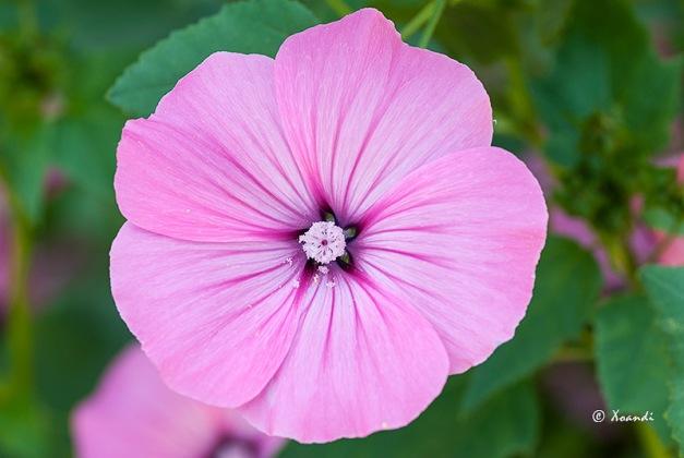 Campanilla rosa Jardines Marimurtra (Blanes)