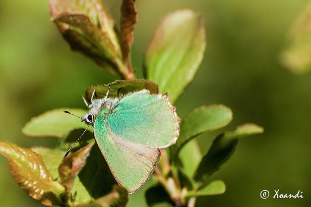 Mariposa Cejialba