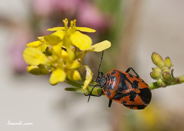 Eurydema Dominulus