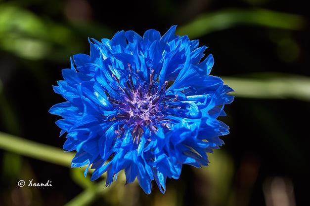 Flor azul Jardines Marimurtra (Blanes)