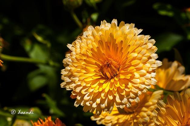 Dalia dorada Jardines Marimurtra (Blanes)
