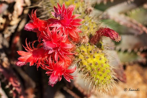 Flor de cactus Jardines Marimurtra (Blanes)