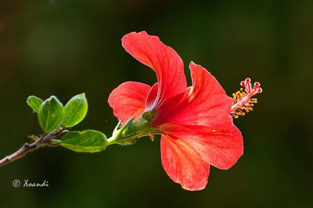 Hibiscus Jardines Marimurtra (Blanes)