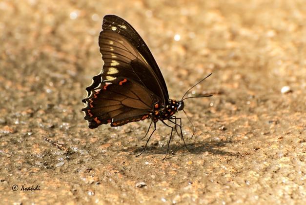 Mariposa bordes dorados