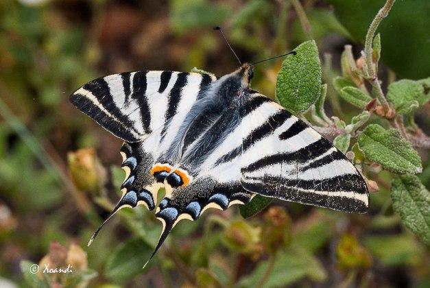 Mariposa Podalirio