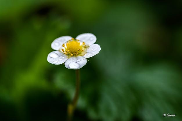 Flor de fresa del bosque en un día de lluvia